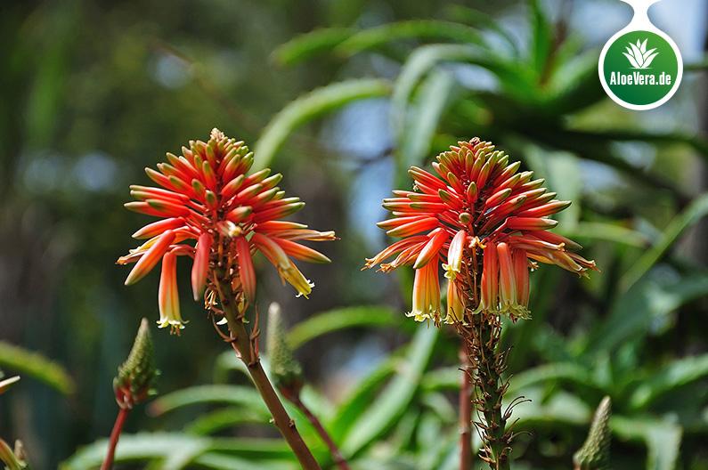 rote Blüten der Aloe Vera Pflanze