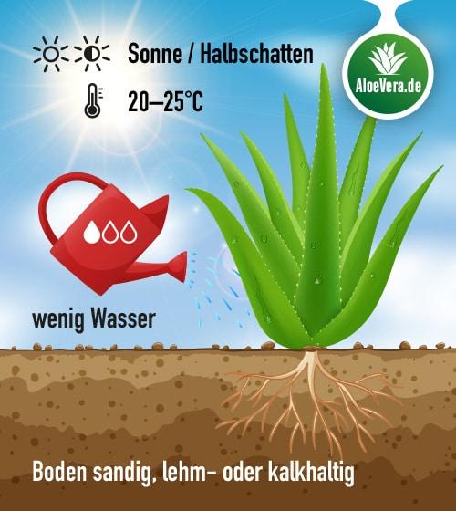 Grafik Aloe Vera Pflege; Pflegeanleitung: wenig gießen; viel Sonne bis Halbschatten; Raumtemperatur 20-25 Grad; sandiger luftdurchlässiger Boden