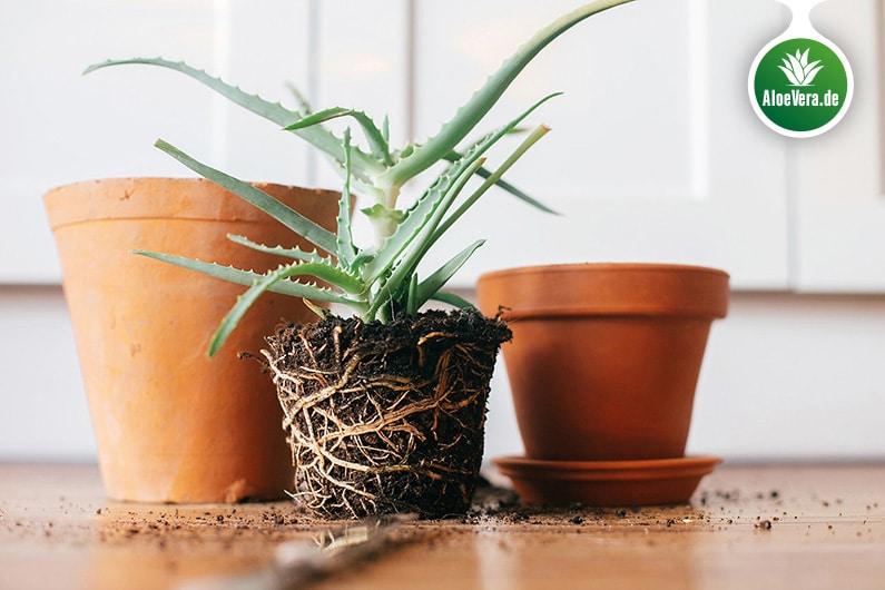 Aloe Vera mit Wurzelballen vor dem Umtopfen